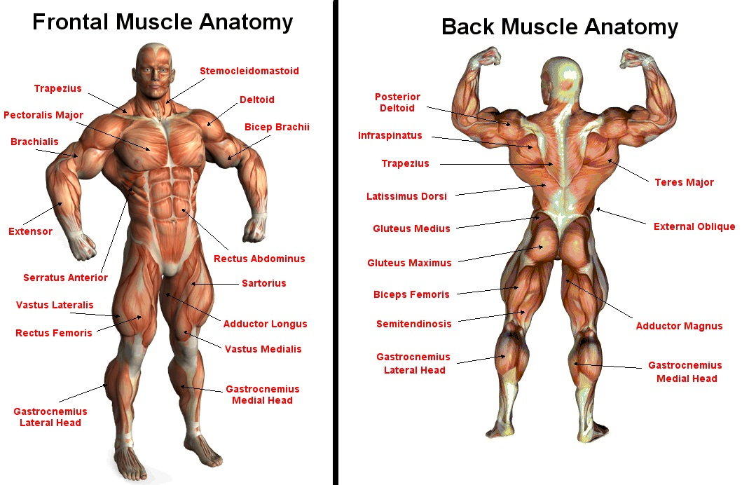 Diagram Of Muscles - All Diagram Schematics